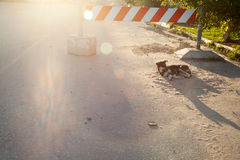 Lonely stray cur dog lying on a road under the stop sign Stock Images