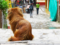Lonely Street Dog. Looking for a home among the streets of Aguas Calientes in Peru Stock Image