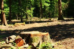 Lonely Stumpy. Lonely stump stands in the centre of the cuttings and broken  branches Stock Photo