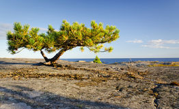Lonely stunted pine tree Royalty Free Stock Photo