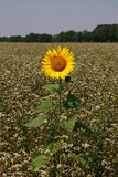 Lonely sunflower Stock Photos