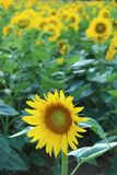 Lonely Sunflower Royalty Free Stock Images