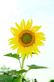 The lonely sunflower with the couldy day Stock Photography