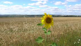 A lonely sunflower stock footage