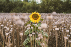 Lonely sunflower. Middle poppy field Stock Images