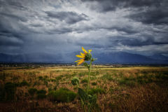 Lonely Sunflower and the Storm Stock Images