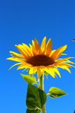Lonely sunflowers. Lonely yellow sunflower looking in the sky Stock Image