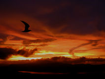 Lonely Sunset Flight. A silhouette of a bird flying accoss story skies at the time of sunset Stock Images