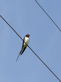 The lonely swallow Stock Photo