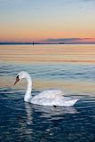Lonely swan. At coast of Black sea in the early morning royalty free stock photo