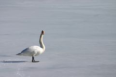 Lonely swan. On frozen lake Stock Images