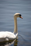 Lonely Swan. A lone white swan in the foreground with a tranquil water background Royalty Free Stock Images