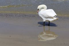 Lonely swan on the beach Royalty Free Stock Photos