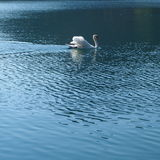 Lonely swan Stock Photography