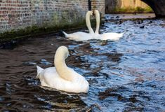 Lonely swan on the Bruges canal with romantic couple of swans in the background. Beautiful swans shot in the most romantic city in the world - Bruges, Belgium royalty free stock photos