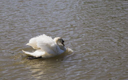 The lonely swan Stock Image