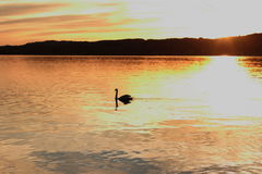 Lonely swan floats on lake at sunset Royalty Free Stock Photography