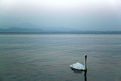 Lonely swan in Garda lake, Italy Stock Image