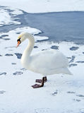 Lonely swan on ice Royalty Free Stock Image