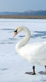Lonely swan on ice Royalty Free Stock Photos