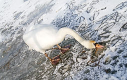 Lonely swan on ice Royalty Free Stock Photography