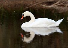 Lonely swan on lake. Lonely white swan on lake stock photo