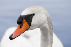 A lonely swan looks directly at the camera Royalty Free Stock Images