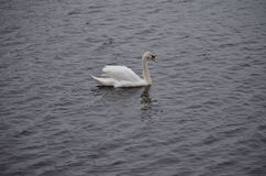 Lonely swan. On the pond misses stock photography