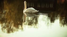 Lonely swan on the pond. Lonely white swan on the pond calm and slow moving in the reflection of the village house in warm colors stock video footage