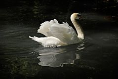 Lonely swan with reflection Stock Photography