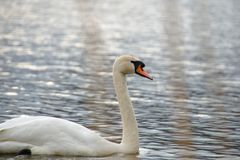 Lonely swan stock images