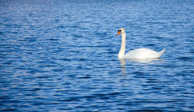 Alone - lonely swan swimming in the lake Royalty Free Stock Photo