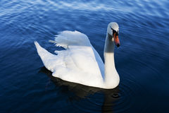 Lonely Swan Royalty Free Stock Photos