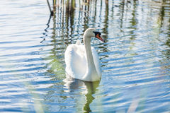 Lonely swan swimming on lake at sunny day Stock Photography