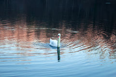 Lonely Swan Swimming Royalty Free Stock Photo