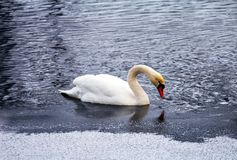 Lonely swan swimming in river Royalty Free Stock Photography