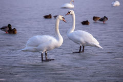 Lonely swans on ice on the lake in winter Royalty Free Stock Photography