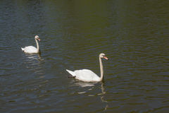Lonely swans live in natural environment Royalty Free Stock Images