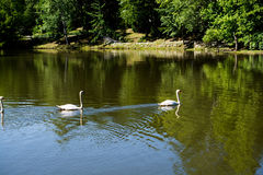 Lonely swans lives in the natural Royalty Free Stock Photo