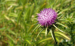 Lonely Thistle Stock Images