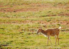 Lonely Tibetan Antelope Stock Images