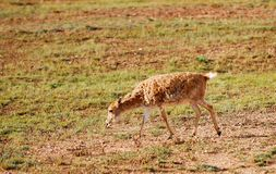 Lonely Tibetan Antelope Royalty Free Stock Photography