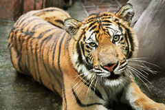 Lonely tiger Stock Images