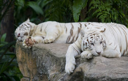 Lonely Tigress. A white tigress missing that certain someone stock image