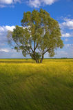 Lonely tree. Stands in the meadow. It is a sunny day with blue sky and white clouds royalty free stock images