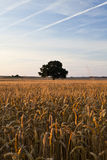 Lonely tree. Summer field with lonely tree Royalty Free Stock Image