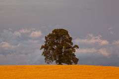 Lonely tree. Summer field with lonely tree Stock Photography