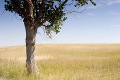 Lonely Tree. Lone tree in field in South Dakota Stock Photography