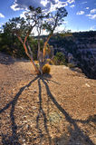 Lonely tree. A lonely tree in Grand Canyon Stock Photos