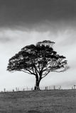 Lonely tree. Black and white tree. Soft focus Royalty Free Stock Image